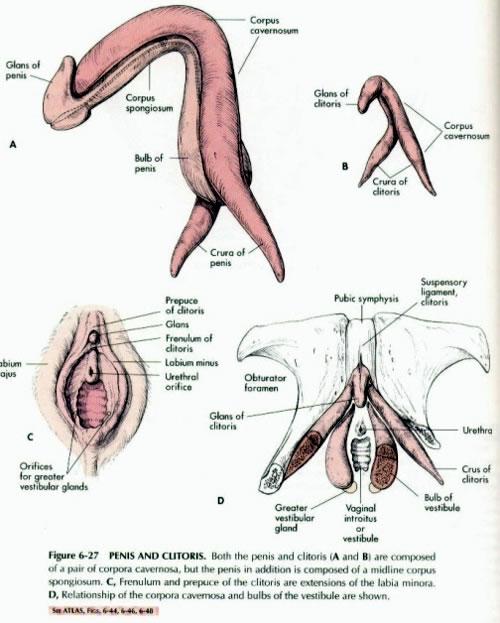 Metoidioplasty Surgery Guide - Metoidioplasty Procedures
